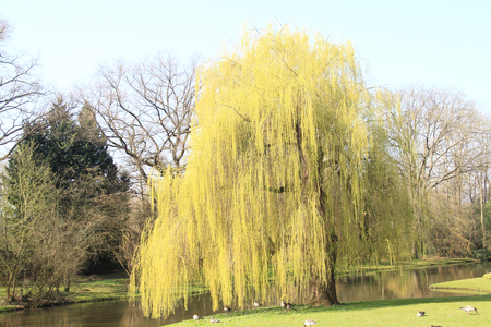 The True weeping willow Salix babylonica is a plant from the kind of willow