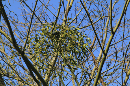 epiphytic: The mistletoe of the genus Viscum is a genus of the family Santalaceae