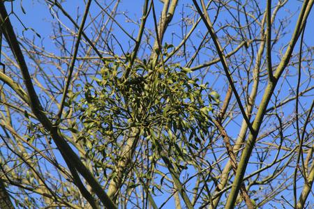 parasites: The mistletoe of the genus Viscum is a genus of the family Santalaceae