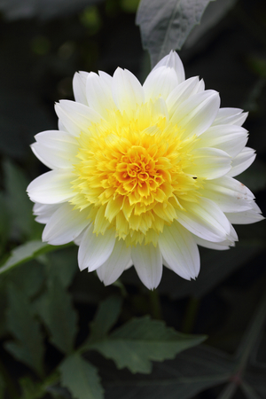 asteraceae: The dahlia Dahlia is a genus of flowering plants in the sunflower family Asteraceae Stock Photo