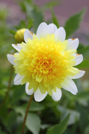 The dahlia Dahlia is a genus of flowering plants in the sunflower family Asteraceae Archivio Fotografico