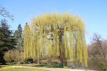 babylonian: The True weeping willow Salix babylonica is a plant from the kind of willow