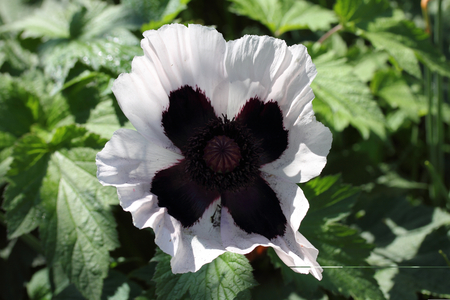 stature: The Turkish poppy is a perennial, herbaceous plant and Reaches stature heights up to 100 centimeters