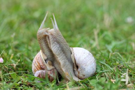 Two Roman snails (Helix pomatia) in copulation