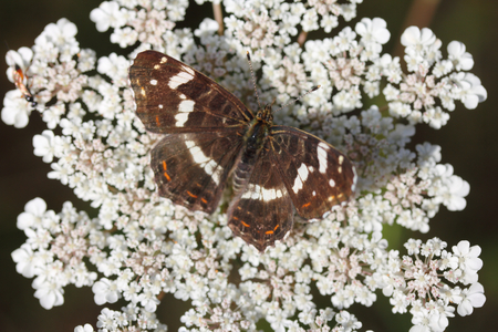 nymphalidae: The Map Butterfly (Araschnia levana) is a butterfly of the family Nymphalidae