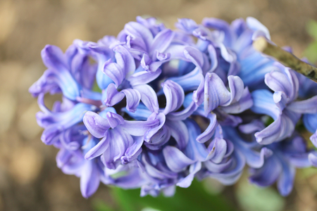 hyacinthus: The hyacinths (Hyacinthus) form a plant kind from the family of Asparagaceae Stock Photo