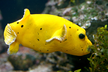 boxfish: Yellow boxfish, (Ostracion cubicus) a young, yellow with black dots Stock Photo