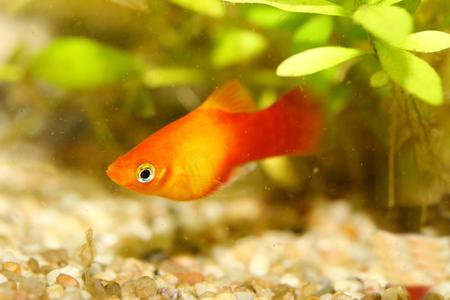 freshwater fish: Platy (Xiphophorus maculatus), a popular freshwater aquarium fish