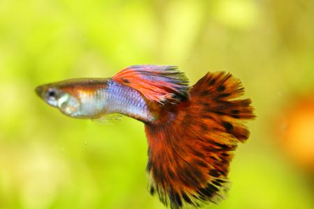 poecilia: A male guppy (Poecilia reticulata), a popular freshwater aquarium fish