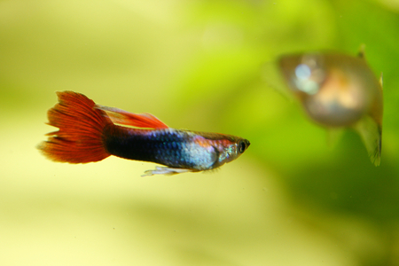 guppy: A male guppy (Poecilia reticulata), a popular freshwater aquarium fish