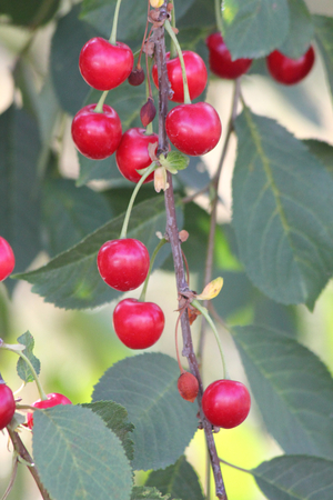 The sour cherry is a plant of the rose family