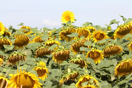 Sunflower field with blooming sunflowers, blue sky in the background
