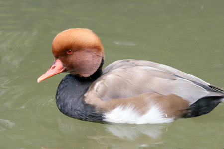 A male Red-crested Pochard (Netta rufina) in water Stock Photo