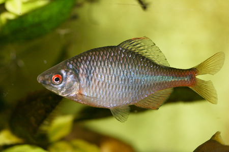 Close-up of a male Bitter (Rhodeus amarus)