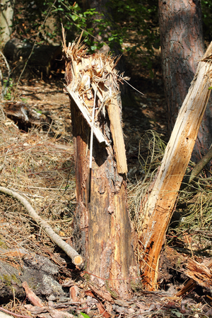Dead tree in a forest environment natural Stock Photo