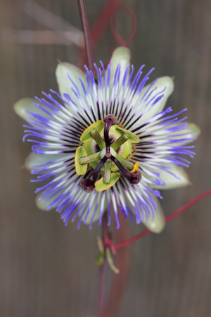 Close up of a blue passionflower (Passiflora caerulea)