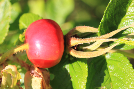As rosehip is called the non-toxic collecting Nuts different kinds of roses Stock Photo