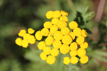 uncultivated: Tansy (Tanacetum vulgare), a plant belonging to the sunflower family is (Asteraceae).