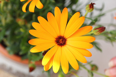 Osteospermum, also known as African daisies, is a genus in the sunflower family (Asteraceae). Stock Photo