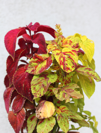 The coleus is a plant from the mint family (Lamiaceae)