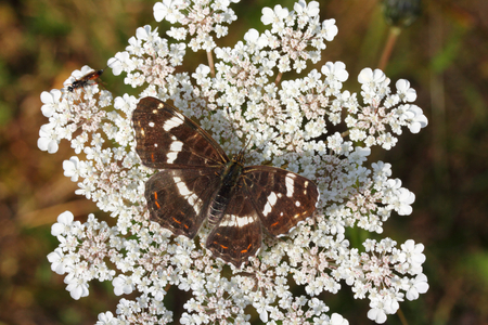 The Map Butterfly (Araschnia levana)  is a butterfly of the family Nymphalidae