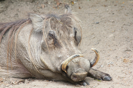 omnivore: The Warthog (Phacochoerus africanus) is a species of mammal native to many parts of Africa