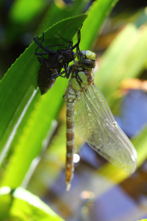 insecta: The dragonflies (Odonata) make an order within the class of insects (Insecta) Stock Photo