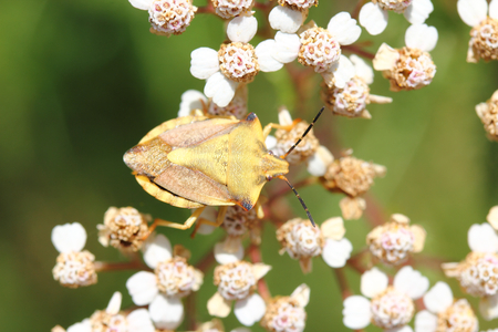 green shield bug: The green shield bug (Palomena prasina) is a bug in the family stink bugs (Pentatomidae) Stock Photo