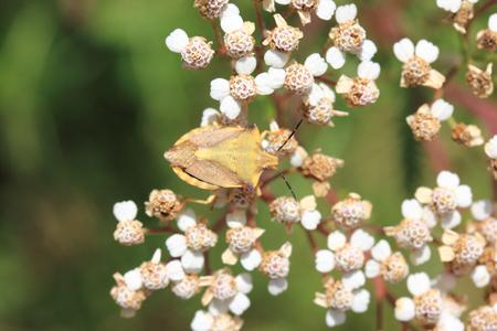 The green shield bug (Palomena prasina) is a bug in the family stink bugs (Pentatomidae) Stock Photo