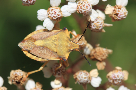 The green shield bug (Palomena prasina) is a bug in the family stink bugs (Pentatomidae) Stock Photo