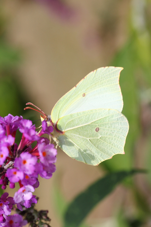 The Brimstone (Gonepteryx rhamni) is a butterfly (butterfly) from the family of Whites (Pieridae)