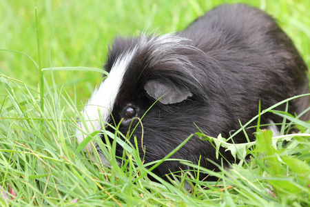 rodents: The guinea pigs (Caviidae) are a family from the order of Rodents
