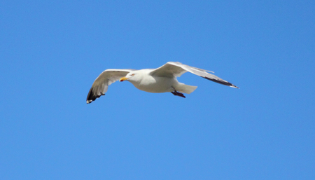 larus: Close-up of a flying gull, with blue sky background
