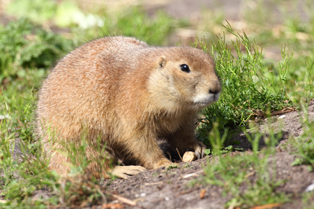 burrowing: Prairie dogs (genus Cynomys) are burrowing herbivorous rodents native to the grasslands of North America Stock Photo