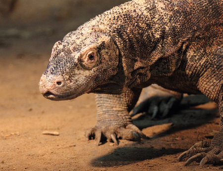 Monitor lizard is the common name of several large lizard species, the genus Varanus Comprising