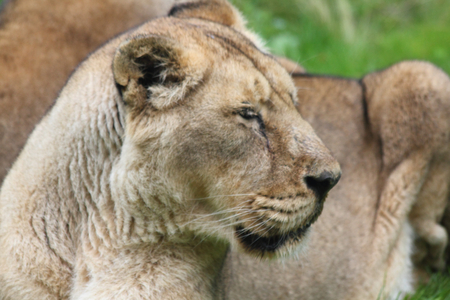 The lion (Panthera leo) is a species of cats Stock Photo