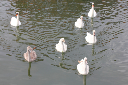 The mute swan (Cygnus olor) is a species of swan and a member of the waterfowl family Anatidae