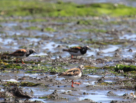 The ruddy turnstone (Arenaria interpres) is a small wading bird, one of two species of turnstone in the genus Arenaria Stock Photo