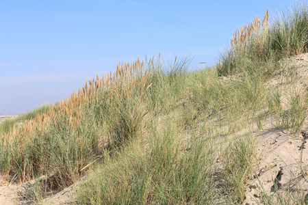 Dunes on the North Sea in the Netherlands Dune landscape on the North Sea coast in the Netherlands
