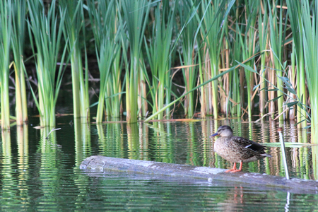 The mallard or wild duck (Anas platyrhynchos) is a dabbling duck which breeds the temperate and subtropical Americas, Eurasia, and North Africa