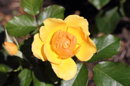 A rose is a woody perennial flowering plant of the genus Rosa, in the family Rosaceae, or the flower it bears