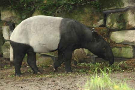 マレーバク (Tapirus indicus)、マレーバクとも呼ばれる、バクの 5 種とアジアの原産で 1 つだけの最大