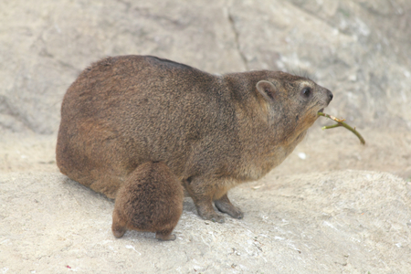 The rock hyrax (Procavia capensis), so called rock badger and cape hyrax, is notably referred to in South African English as the Stock Photo