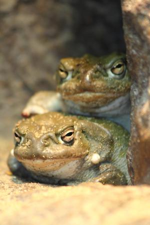 The Colorado Toad (Incilius alvarius) (Bufo Incilius) located in the United States and in the North Vest (Sonoran Desert)