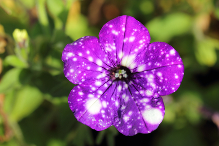 The petunia (Petunia) is a genus of the family Solanaceae