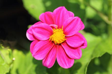 The dahlia (Dahlia), is a genus of flowering plants in the sunflower family (Asteraceae) Die Dahlie (Dahlia), ist eine Pflanzengattung in der Familie der Korbbl?tler (Asteraceae)