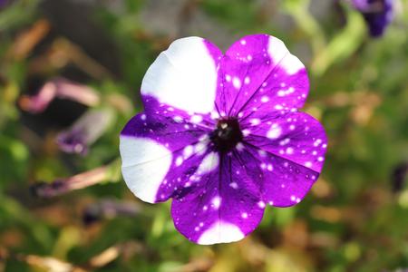 The petunia (Petunia) are a genus of the family Solanaceae Die Petunien (Petunia) sind eine Gattung der Familie der Nachtschattengew?chse  Stock Photo