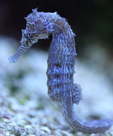 Seahorse is the name given to 54 species of small marine fishes in the genus hippocampus. Stock Photo