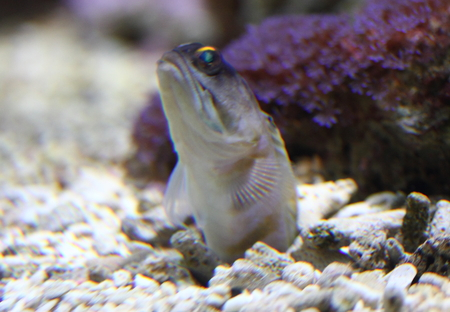Opistognathidae, the jawfishes, are a family of fishes classified within the order Perciformes, suborder Percoidei