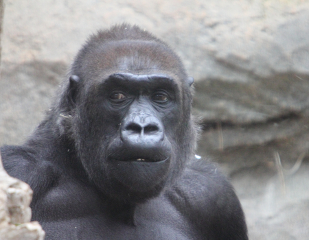 Gorillas are ground-dwelling, predominantly herbivorous apes that inhabit the forests of sub-Saharan Africa